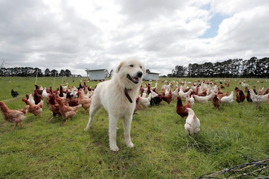 Maremma guard dogs protecting the chickens