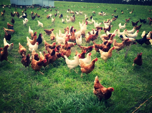 Madelaine's Organic Chickens